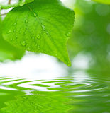Green leaves reflecting in the water Stock Photography