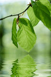 Green!. Green leaves reflecting in water Stock Photos