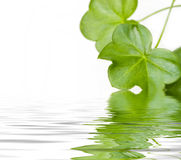 Green leaves reflecting in water. Beautiful green leaves reflecting in water Royalty Free Stock Images