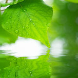 Green leaves reflecting in the water Royalty Free Stock Image