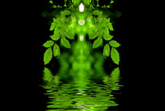 Green leaves reflection. Green leaves and branch with back light and reflection in the water Royalty Free Stock Images