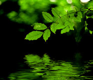 Green leaves reflection. Green leaves and branch with back light and reflection in the water Stock Photos