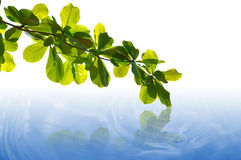 Green Leaves with reflection Stock Photos