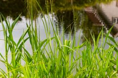 Green leaves and reflection on the water.  Royalty Free Stock Photos