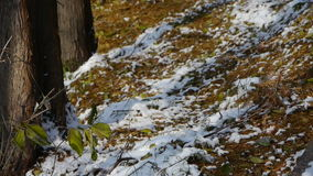 Green leaves relying trunk in snow,Forest winter. Gh2_00788 stock footage