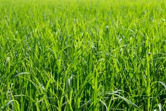 Green leaves of rice in paddy. rice field, agriculture concept and nature background. Green leaves of rice in paddy. rice field, agriculture concept and nature royalty free stock photo