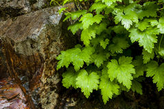 Green leaves and a rock. Royalty Free Stock Images