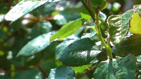Green Leaves and Roses after the Rain stock footage