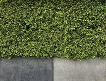 Green leaves and rough grunge cement wall texture for background stock image
