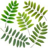 Green leaves rowan Royalty Free Stock Photos