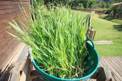 Green leaves of ruzi grass for castle farm. Green leaves  of ruzi grass for castle farm Royalty Free Stock Images
