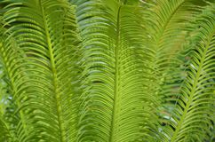 Green leaves of Sago palm Cycas revoluta textured background. For copy and design Royalty Free Stock Photos