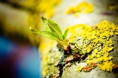 Green leaves of Sakura Pink Cherry Tree closeup Royalty Free Stock Photography