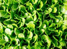 Green leaves Salad in the garden of the home garden Royalty Free Stock Photography