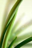 Green leaves Sansevieria trifasciata Royalty Free Stock Image
