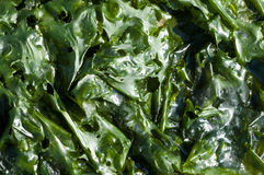 Green leaves of sea lettuce Royalty Free Stock Image