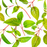 Green leaves of seedling fuchsia is isolated on white background Royalty Free Stock Photo