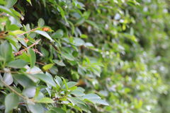 Green leaves with shallow depth Royalty Free Stock Images