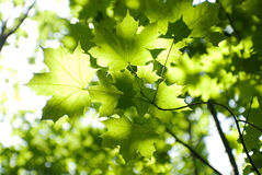 Green leaves, shallow focus Stock Images