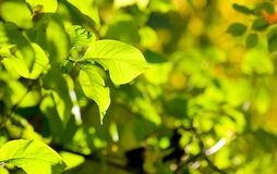 Green leaves, shallow focus. Summer Stock Photos