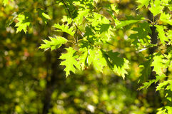 Green leaves, shallow focus. Summer Royalty Free Stock Images