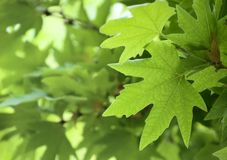 Green leaves, shallow focus Royalty Free Stock Photography