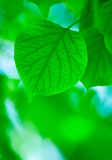 Green leaves, shallow focus Royalty Free Stock Photos