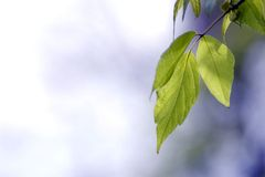Green leaves, shallow focus Royalty Free Stock Images