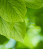 Green leaves, shallow focus Royalty Free Stock Photo