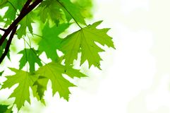Green leaves, shallow focus Stock Photos