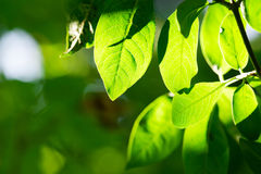 Green leaves, shallow focus. Royalty Free Stock Image