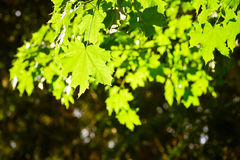 Green leaves, shallow focus. Beautiful summer photo stock photography