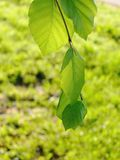 Green Leaves, Shallow Focus Royalty Free Stock Image