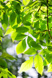 Green leaves, shallow focus. Summer Stock Photography