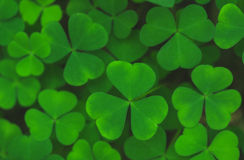 Green leaves of shamrock background Stock Image
