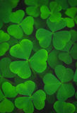 Green leaves of shamrock background Royalty Free Stock Images