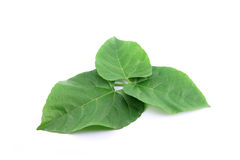 Green leaves shaped like heart. Stock Photography