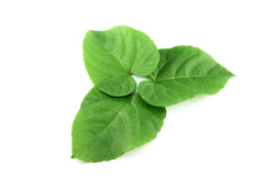 Green leaves shaped like heart. Royalty Free Stock Photos