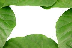 Green leaves shaped like heart. Stock Image