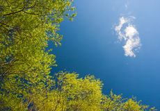 Green leaves with sky. Blue cloudy sky and green leaves of tree Royalty Free Stock Photo