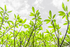 Green leaves. In the sky Royalty Free Stock Images