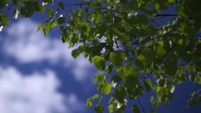 Green leaves on sky background. Clip stock video footage