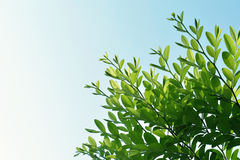 Green leaves and sky background space for copy space.  Royalty Free Stock Image