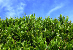 Green leaves and sky Stock Images