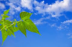 Green leaves. sky with clouds. Royalty Free Stock Images