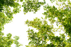Green leaves in the sky Royalty Free Stock Image