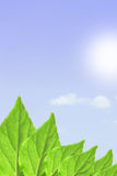 Green leaves, sky and sun. May be used as background Royalty Free Stock Photos