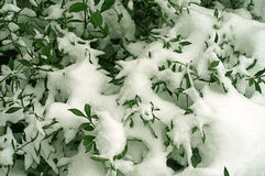 Green Leaves in Snow Stock Image