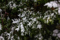 Green leaves with snow. Green bush leaves and red bush branches covered in snow Stock Images