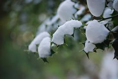 Green Leaves With Snow in Closup Photography royalty free stock photos